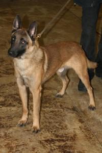 Foto de perros trabajadores para la venta